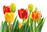 Orange and Yellow Tulips with White Background