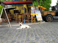 Street Dog in Colonia, Uruguay