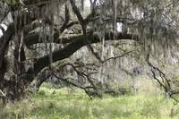 Wild Florida Landscape with Old Oak