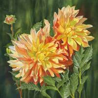 Yellow and Orange Dahlias with Dark Background