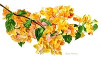 Golden Bougainvillea with White Background