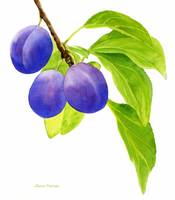 Blue and Purple Plums on White