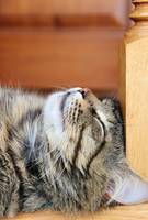 sleeping tabby cat