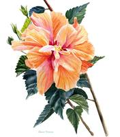 Double Orange Hibiscus Blossom