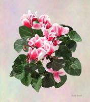 Red and White Cyclamen