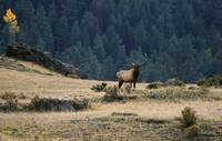 Elk - Rocky Mountain National Park