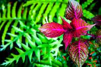 Fern and Coleus