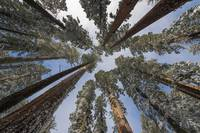 A Convergence of Giant Sequoias