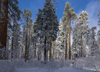 Snowy Sequoia Forest