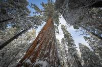 Tall, Snow Covered Sequoias