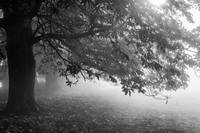 Autumn Tree in Mist and Sunlight - Black and White