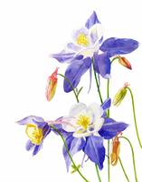 blue columbine white white background