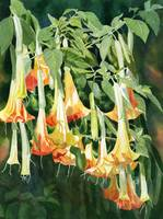 angels trumpet tropical flowers