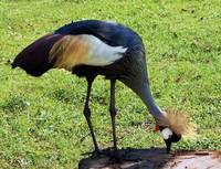 Gray Crowned Crane Gulf Shores F13119b