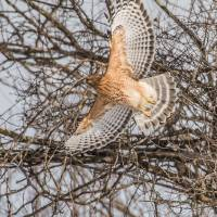 """""""Red-shouldered Hawk"""" by WildAboutNaturePhotography"""