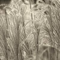 Grass Feathers Sepia by Karen Adams