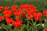RED Tulips Flowers art prints Spring Garden