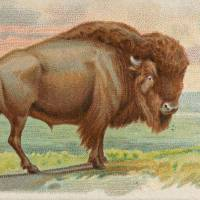 """Vintage Illustration of a Buffalo (1890)"" by Alleycatshirts"