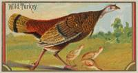 Vintage Illustration of a Wild Turkey (1889)
