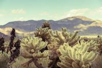 Joshua Tree Cactus Super Bloom 7380