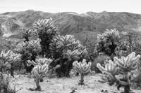 Joshua Tree Cactus Super Bloom 7375