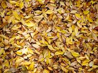 Ocher leaves