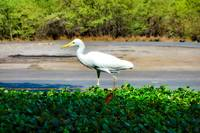 Maui Cattle Egret Step 4