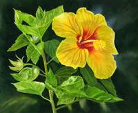 Yellow Hibiscus with Leaves and Dark Background