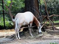 Addra Gazelle Grazing