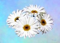Four White Daisies