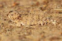 Camouflaged Horny Toad