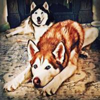 Siberian Huskies at Rest A22119