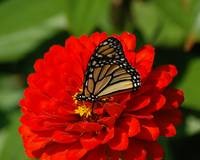 Monarch Butterfly on Red Flower