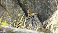 Indian leopard (Panthera pardus fusca) - Male Cub