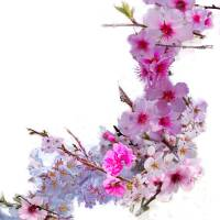 """""""Blossoms That Shape Japan"""" by evelyncurryart"""