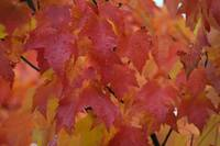 Woodinville Maple Leaves - 1