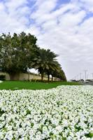 White Petunias in Dubai