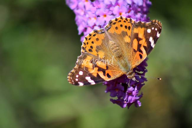 Painted Lady Butterfly in October