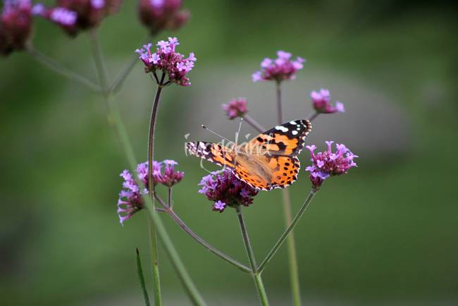 Painted Lady Butterfly Solo on Verbena