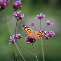 Painted Lady Butterfly Balance by Karen Adams