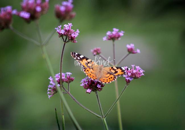 Painted Lady Butterfly Balance
