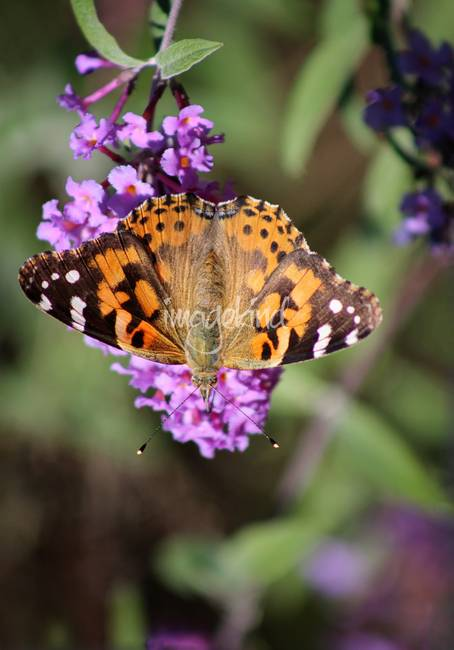 Painted Lady Butterfly Upside Down