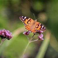 Painted Lady Butterfly 2018 by Karen Adams