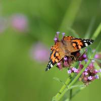 Painted Lady Butterfly Balancing Act by Karen Adams