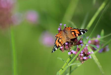 Painted Lady Butterfly Balancing Act
