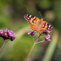 Painted Lady Butterfly 2018 crop by Karen Adams