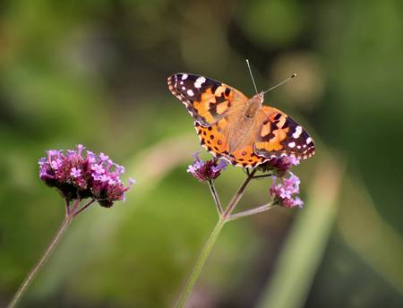Painted Lady Butterfly 2018 crop