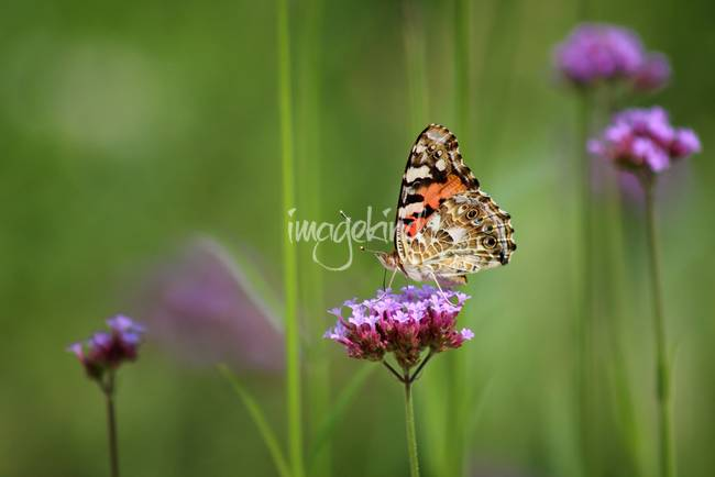Painted Lady Butterfly Dreams