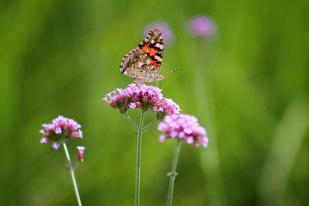 Painted Lady Butterfly Beauty