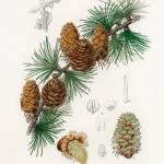 """Vintage Botanical Linus larix"" by FineArtClassics"